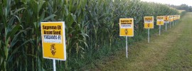 Monsanto corn field