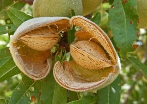 almond 2