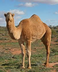 camel milk 2