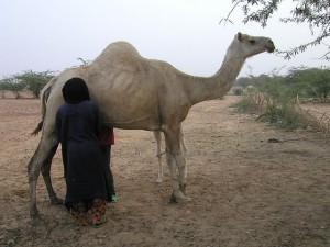 camel milk 3