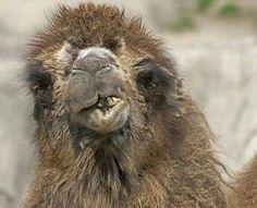 camel milk 5